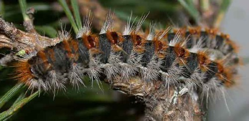 Pine processionary caterpillar