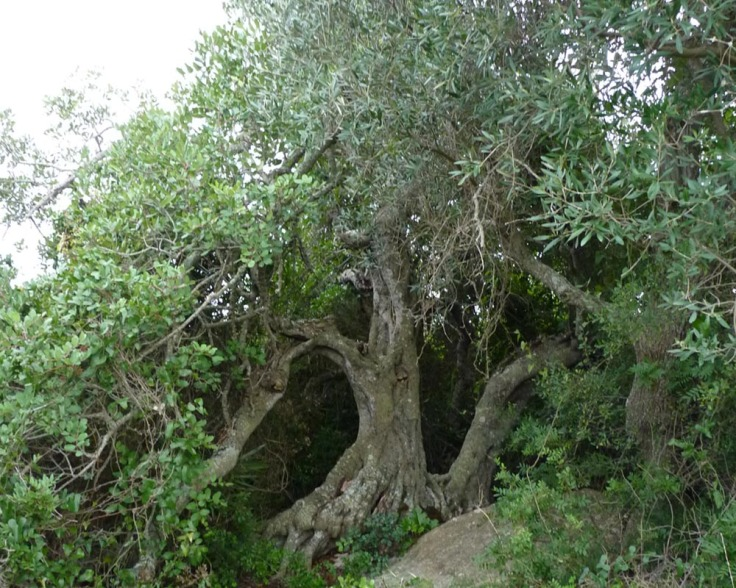 100 year old Carob tree