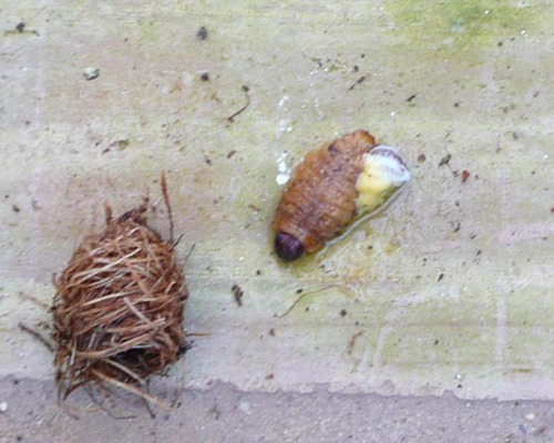 Cocoon and Pupa