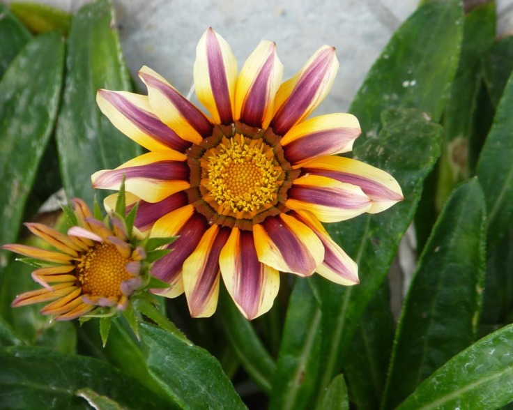 Gazania in January