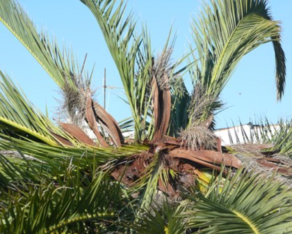 Crown of adult palm wilts and dies