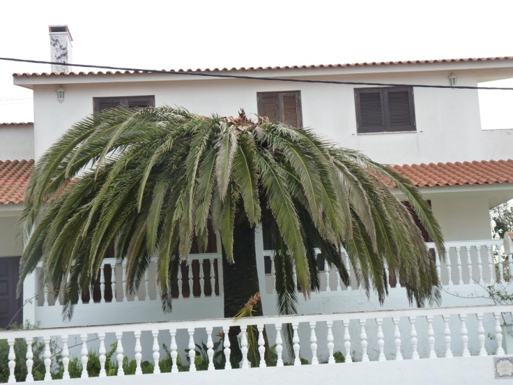 This majestic palm is infested with Red Palm Weevil