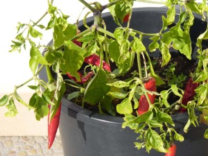 Chili Peppers grown in pots - February 2011