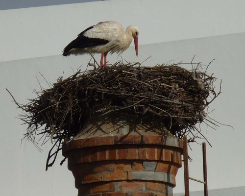 White stork on chimney in Lagos, Western Algarve