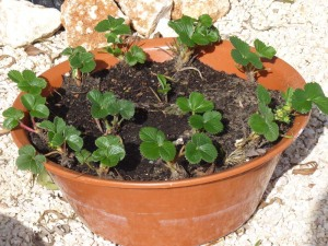 Strawberry Pot - February 2011