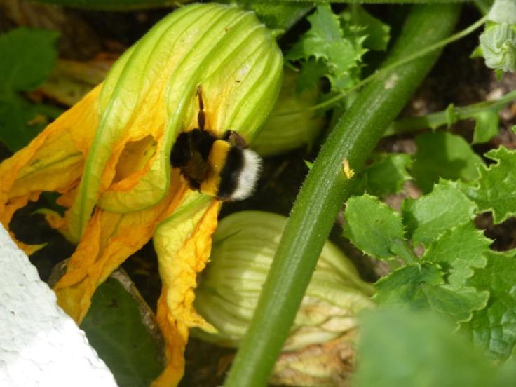 Bumblebee pollinates Zucchini