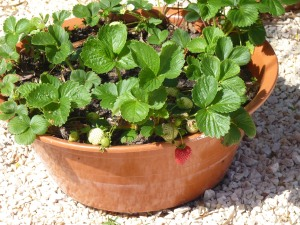 Strawberries grow well in pots