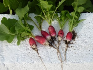 First crop of radish 14/04/11
