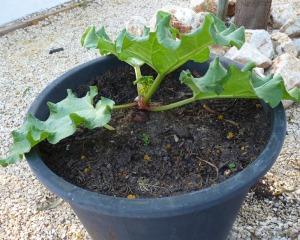 Rhubarb experiment 14/04/11