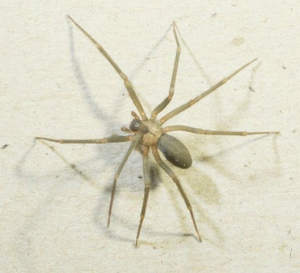 The Brown Recluse Spider looks harmless