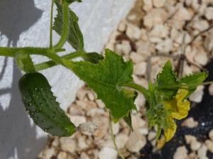 First cucumber 15/05/11