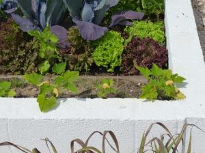 Squash plants 150511