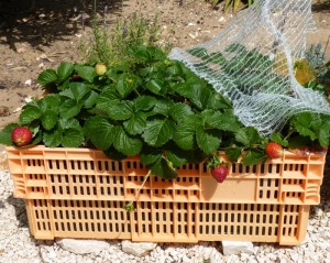 Prolific strawberry plants