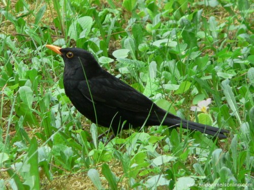 The 20 year ban on hunting blackbirds in Portugal has been lifted