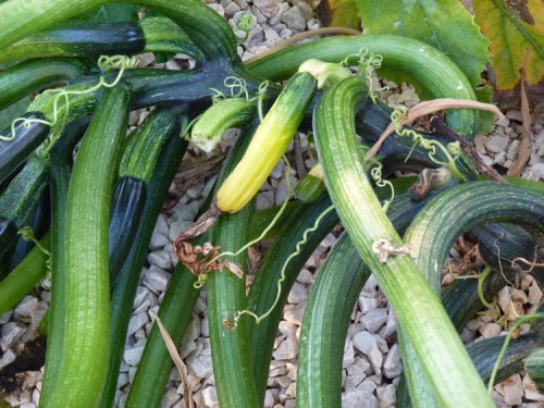 Zucchini rotting as they grow