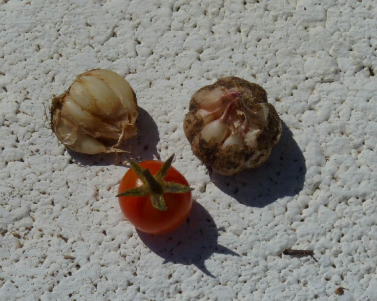 End of July: The foliage had died off so I eagerly dug up all the heads of garlic. What a disappointment they were not much bigger than my cherry tomatoes!