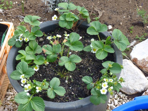 "March 2011 ""Strawberry"" plants in flower"