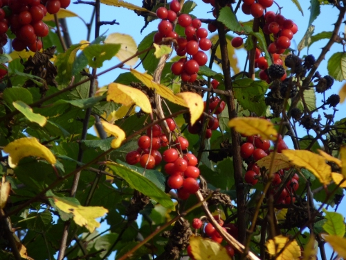 A feast of berries in the hedgerow