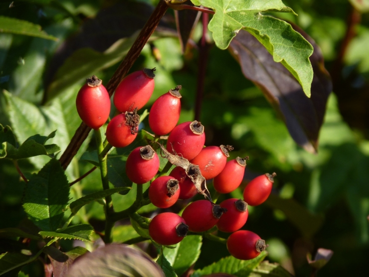 Rosehips in the hedgerow