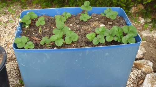 Strawberries growing ina recycled container