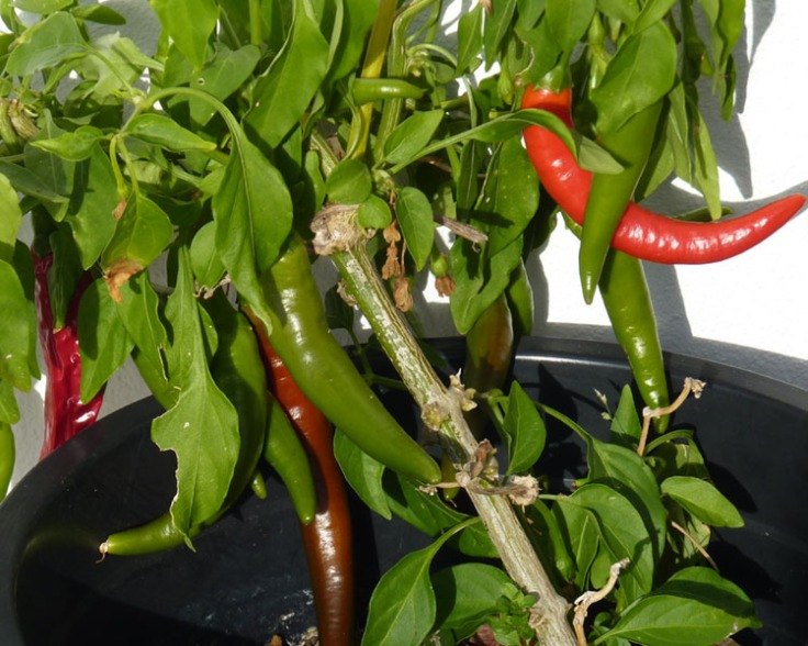 Chilli Peppers are still growing in December