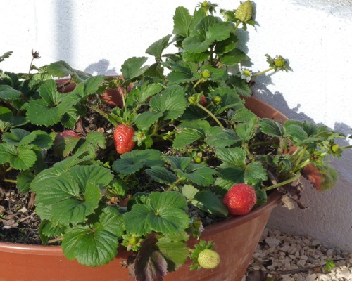 Portuguese strawberries in December!