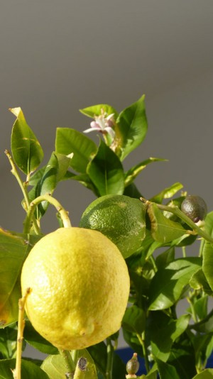 Lemon, flowers and tiny fruit - December 2011