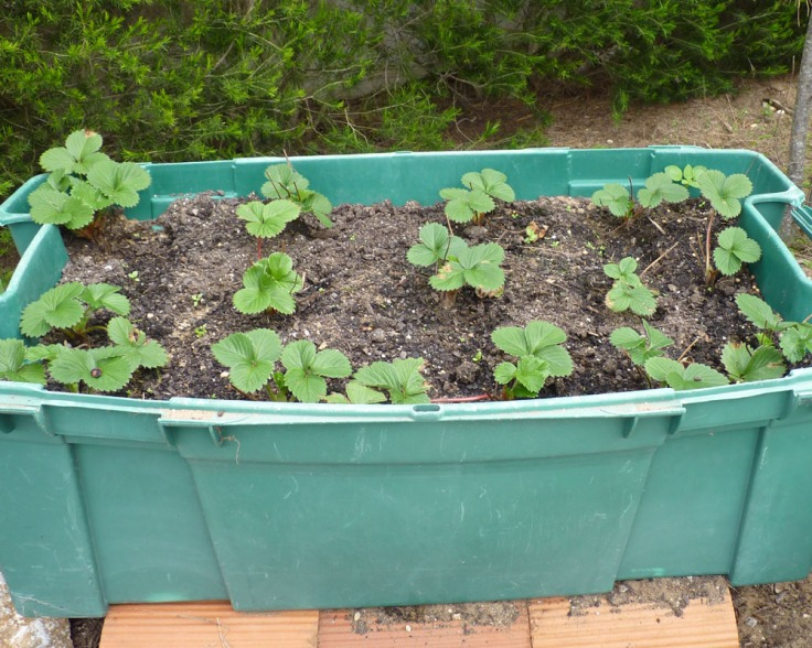 New strawberry plants in recycled container