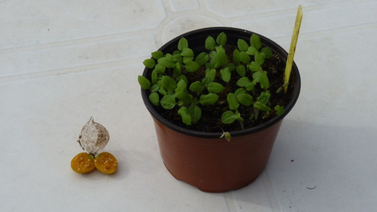 Physalis seedlings grown from fruit