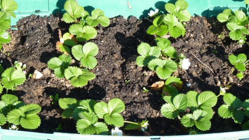Container grown strawberry plants - planted in November