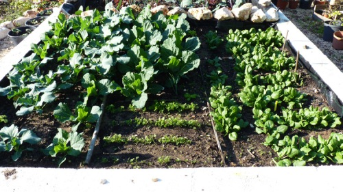 The broccoli, caulitflower, carrots and spinach as at 14th January