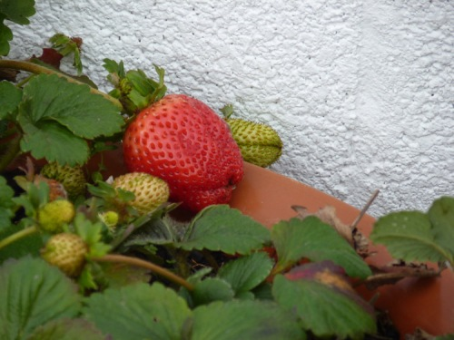 Strawberries in January