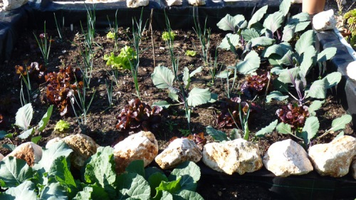 Leeks, red cabbage, rosso and green lettuce on the 14th January