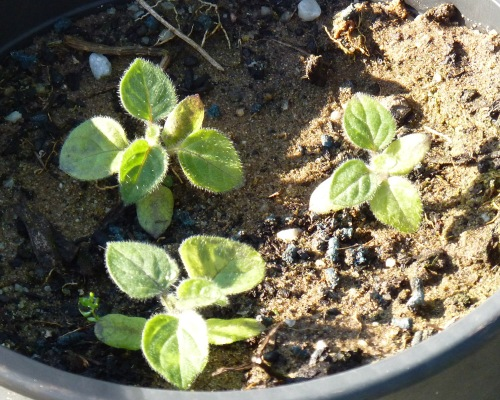 Physilis seedlings