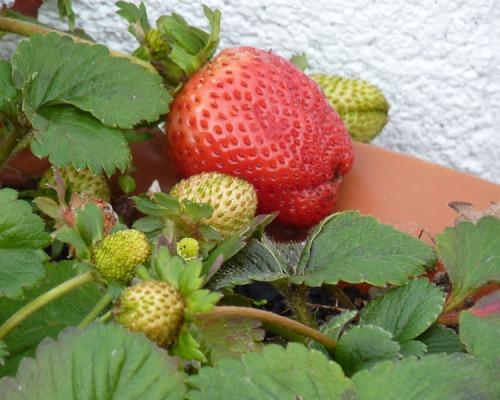 Strawberries in Winter