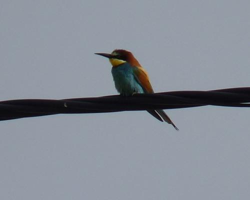Bee-eater, Western Algarve - Portugal