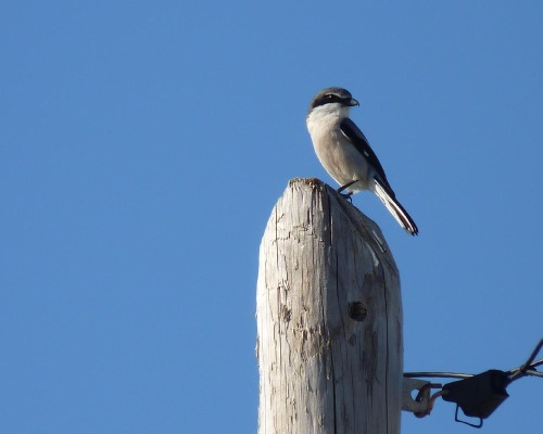 What is this bird - is it a Great Grey Shrike?