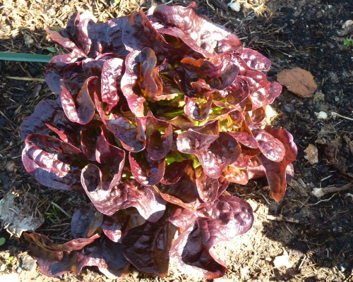 The Rosso lettuce are just perfect!