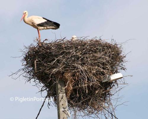 White stork and baby