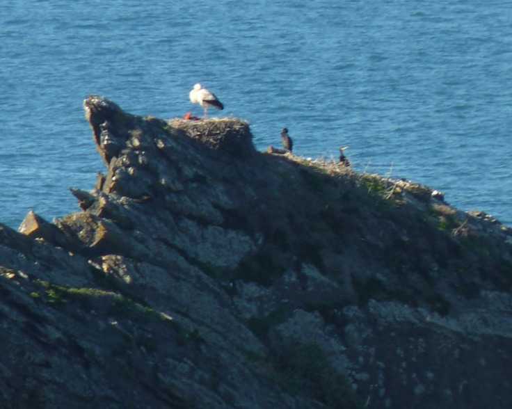 White Stork nesting on outcrop of rocks at Praia do Vale dos Homens