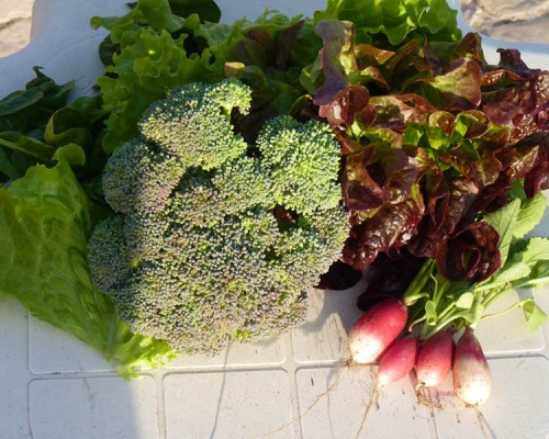 Harvest of broccoli, radish, lettuce and green cabbage