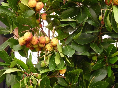 It takes 15kg of berries from the Strawberry Tree (Arbutus unedo L) to produce 1 litre of Medronho!