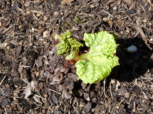 Rhubarb shoots peeping through the soil