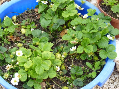 Strawberry plants grow well in pots