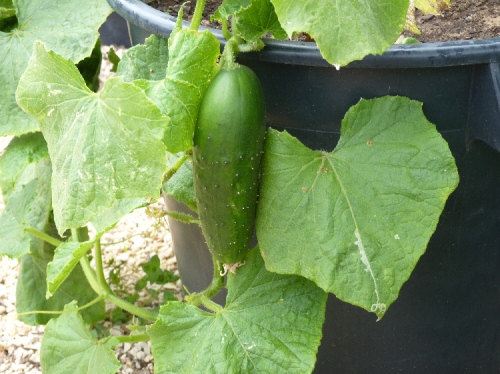 My first cucumber!