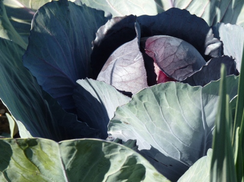 The red cabbages are now ready to pick