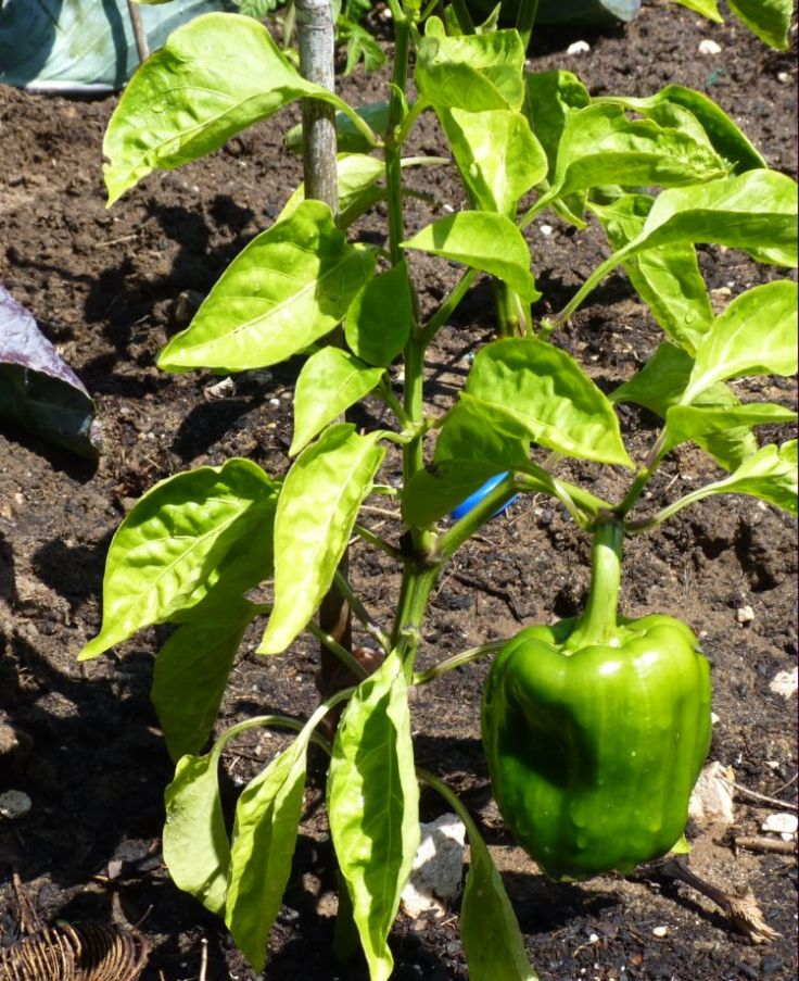 Orange Bell Pepper Plant