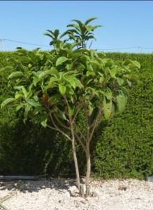 Nespera tree