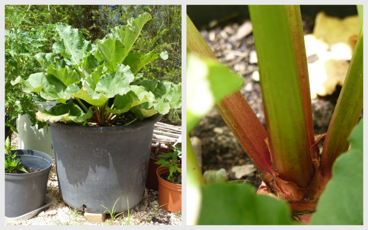 Growing Rhubarb in a container