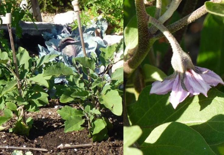 Aubergine plants
